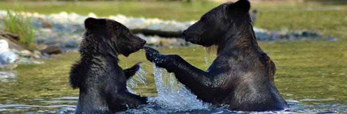 shutterstock_783515713-bears-bc-compressed.jpg